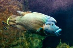Cheilinus undulatus eller Napoleon fisk royaltyfria bilder