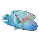 Cheilinus undulatus. Napoleon fish. Humphead wrasse. Royalty Free Stock Photo