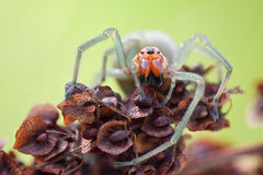 Cheiracanthium punctorium spider in nature Royalty Free Stock Photos