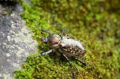Cheirotonus gestroi beetle Royalty Free Stock Image