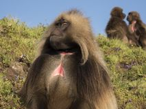 Chelada baboons, Jelada, blood-breasted baboon royalty free stock photography