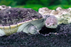 Chelidae animal exótico anfíbio na água Fotografia de Stock