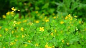 Chelidonium - florecimiento puro de las plantas medicinales almacen de metraje de vídeo