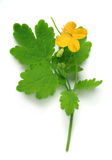 Chelidonium (greater celandine) flower and leaf Stock Photos