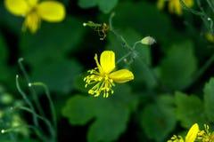 Chelidonium kwitnącego dzień pola fireweed kwiatu wiejski sally lato Fotografia Royalty Free