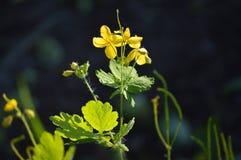 Chelidonium Mooie bloemen van celandine Heldere gele bloemen stock afbeeldingen
