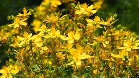 Chelidoniumen celandine, kilwort blommar i vind stock video