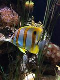 Chelmon в аквариуме Стоковое Фото
