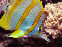 Chelmon rostratus. A marine copper-band butterfly-fish in detail Royalty Free Stock Image