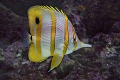 Chelmon rostratus delle pinzette del pesce della farfalla Pesci tropicali Immagini Stock Libere da Diritti