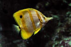 Chelmon rostratus di pesce angelo di Copperband immagini stock libere da diritti