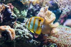 Chelmonrostratus Copperband Butterflyfish royalty-vrije stock afbeeldingen