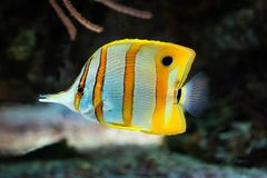 Chelmonrostratus - Gestreepte Longsnout Butterflyfish stock afbeelding