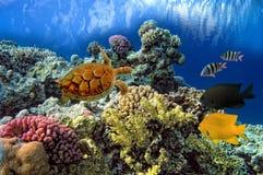 Chelonia da tartaruga de mar verde Fotos de Stock
