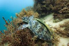Chelonia mydas black sea turtle on the coral reef in the Philippines eating Stock Images