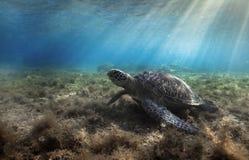 Chelonia mydas della tartaruga di mare verde che riposa nell'erba del mare underwater immagini stock libere da diritti