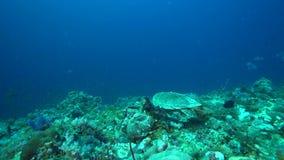 Chelonia mydas della tartaruga verde nel corallo del Mar Rosso Sudan archivi video