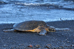 Chelonia Mydas. A green sea turtle at a black sand beach at Punalu'u beach on Hawaii Stock Photos