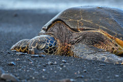 Chelonia Mydas. A green sea turtle at a black sand beach at Punalu'u beach on Hawaii Stock Photography