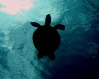 Chelonia mydas 007-3 royalty free stock photos