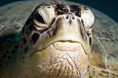 chelonia mydas zielonego żółwia Zdjęcia Stock