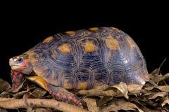 Chelonoidis carbonaria, Red-footed tortoise. Chelonoidis carbonaria,better known as the  Red-footed tortoise is a giant tortoise species found across the Amazon Royalty Free Stock Photo