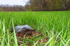 chelydra serpentina鳄龟 免版税库存图片