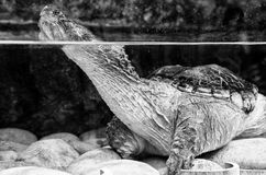 Chelydra serpentina. Turtle in the water Royalty Free Stock Photos