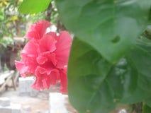 Chembarathi Fotografia Royalty Free