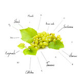 The chemical composition of grapes Royalty Free Stock Photo