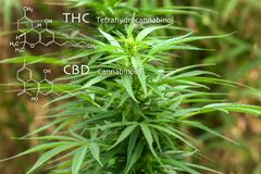 Chemical formula CBD cannabidiol. Science, research marijuana, cannabis. Thematic concept of hemp and ganja.Blur background image