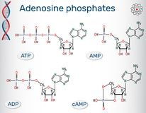 Chemical structural formulas Adenosine phosphates nucleotides  : Stock Photo