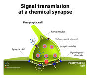 Chemical synapse. Signal transmission at a chemical synapse. one neuron releases neurotransmitter molecules into a synaptic cleft that is adjacent to another royalty free illustration