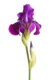 Cheminée avec la fleur mauve-foncé d'iris sur le blanc Photo stock