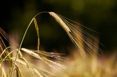 Cheminée de blé Photos libres de droits