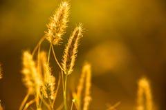 Cheminée de plan rapproché de blé Image stock