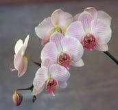 Cheminée des orchidées roses Photographie stock
