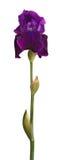 Cheminée et fleur pourprée d'iris d'isolement sur le blanc Photo stock