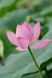 Cheminée simple de fleur de lotus photos libres de droits