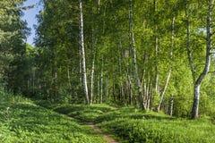 Chemin à la forêt de bouleau Photographie stock libre de droits