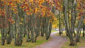 Chemin à travers des arbres de baie de sorbe Image stock