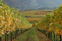 Chemin à travers la vigne Images stock