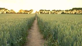 Chemin à travers le champ de blé ou d'orge soufflant dans le vent au coucher du soleil ou au lever de soleil banque de vidéos