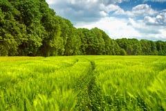 Chemin à travers le jeune maïs à la forêt Photos stock