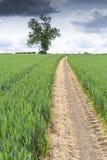Chemin à travers un champ de jeune blé Photo stock