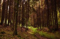 Chemin d'herbe verte dans une forêt conifére épaisse Photos libres de droits