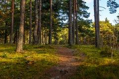 Chemin dans la forêt de pin Photos libres de droits