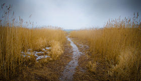 Chemin dans le marécage avec des roseaux Image stock