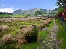 Chemin dans le pays avec deux moutons Photos libres de droits