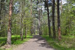 Chemin dans le pin Forest Path dans la forêt de pin image libre de droits